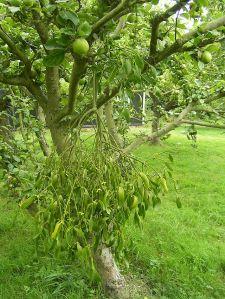 apple-Mistletoe_1