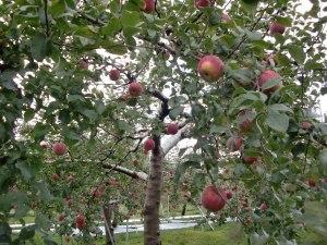 Apple_Orchard_at_Kamimoku,_Gunma,_Japan